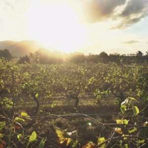 hunter sunset vineyard